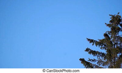 large fir wind sways against the blue sky footage