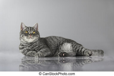 British striped fat cat