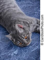 British striped fat cat