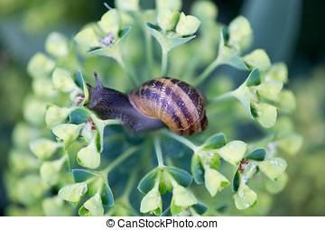 Snail on a flower - Garden Snail (Helix aspersa), on Spurge...