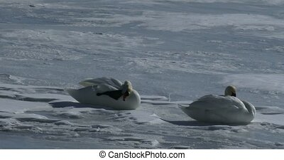 Swans resting on frozen lake - Couple of swans resting on...