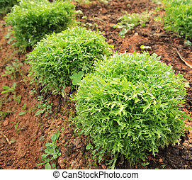 Ruccola plants in growth at garden
