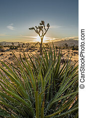 Yucca Plant with Joshua Tree and Sunset in Background -...