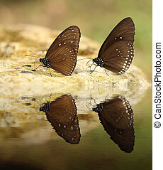Common Indian Crow butterfly Euploea core Lucus with water...
