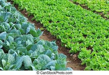 green lettuce and cabbage crops in growth at vegetable garden