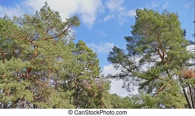 pine forest blue sky clouds nature landscape time lapse -...