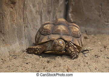 Burmese Starred Tortoise Geochelone platynota on the ground...