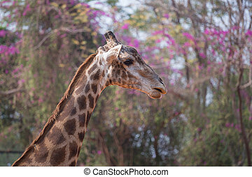 Giraffe head with neck , giraffa camelopardalis