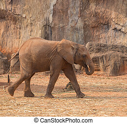African Elephant Loxodonta africana walking on the ground