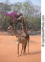 giraffe giraffa camelopardalis standing on the ground