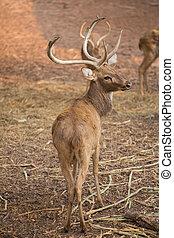 a red deer looks back in field