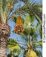 date palm with sweet dates - High palm tree with delicious...