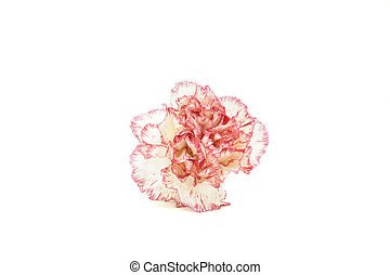 Carnation front view on white