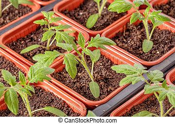 Fresh tomato seedling background macro shot photo