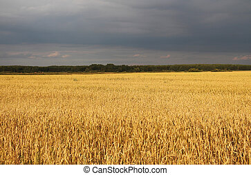 agriculture, field, ears of wheat - natural environmentally...