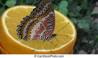 Butterfly have breakfast orange juice - Tropical Butterfly...