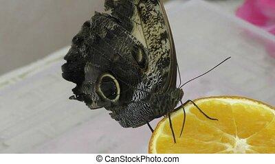Butterfly have breakfast orange juice - Tropical Butterfly...