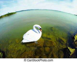 White swan floating on a clean water Apply a fisheye lens