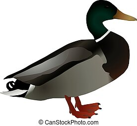 A vector image of a drake mallard duck Anas platyrhynchos on...