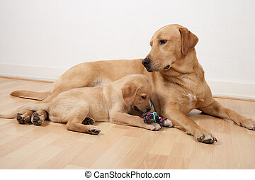 Two labrador retriever dogs