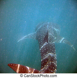 Back of a Whale Shark in the Caribbean Sea