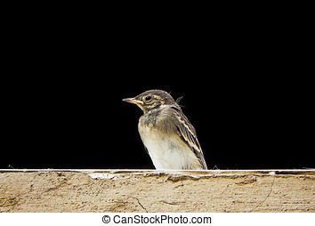 Wagtail - Baby wagtail in a window ledge.