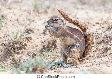 Ground squirrel shading it self with its tail - A ground...
