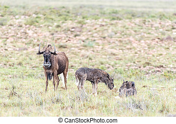 Wet black wildebeest cow and calves, Connochaetes gnou, in a...