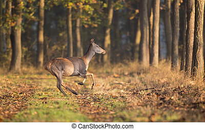Hind running in forest - Afraid hind running in forest on...