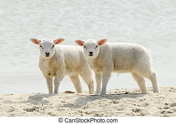 Cute lambs on the beach in spring, Friesland The Netherlands