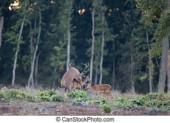 Red deer mating - Red deer couple mating in forest in...
