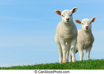 Cute lambs in spring, Friesland The Netherlands