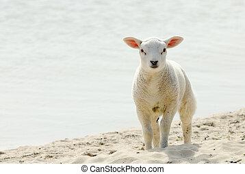 Lamm,  CÙte, sandstrand, Fruehjahr