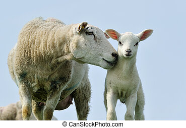 Cute lambs in spring - Cute lamb and mother sheep in spring,...