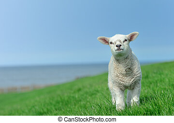 Cute lamb in spring, Friesland The Netherlands