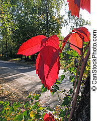 Sunlited leaves of Parthenocissus (Parthenocissus...