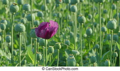 Poppy flower and green cocoons, plant in field, zoom in HD...