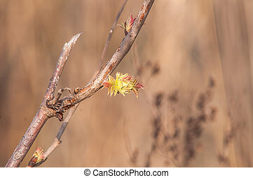 currant bud blossoms - currant bud per stem bloom young...