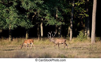 Red deer and hind - Red deer walking behind hind in the...