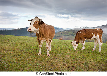 Cows grazing on meadow - Two Simmental cows grazing on...