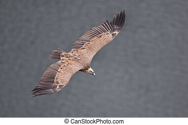 Griffon vulture flying over Uvac river canyon in Serbia, top...