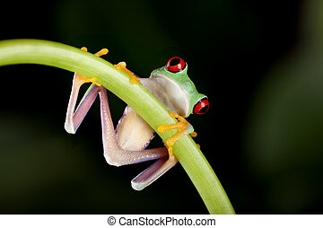 Frog on liane - One inch red-eyed tree frog on a liane