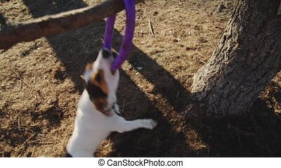 Jack Russell Terrier playing with his toy in the park