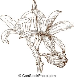 illustration of lily flower - Vector antique engraving...