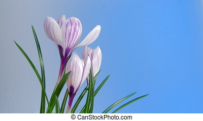 Flowers Blooming Timelapse - Isolated Flowers blooming...