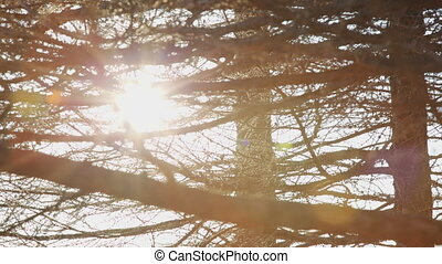 sun ray lights and flare behind the branches of a tree