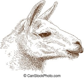 illustration of lama head - Vector antique engraving...