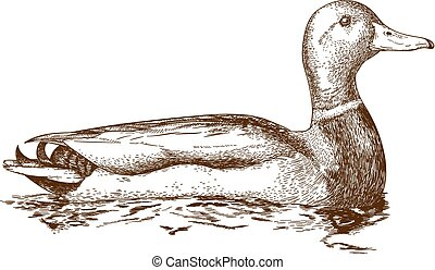 illustration of mullard duck - Vector antique engraving...