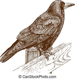 illustration of raven - Vector antique engraving...