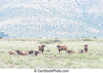 Herd of black wildebeest - A herd of black wildebeest,...